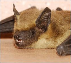bat removal Kingwood