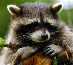 raccoon removal Kingwood