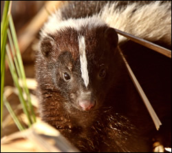 skunk removal Kingwood